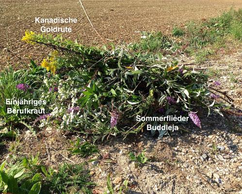 Neophyten Bekämpfung in der Rheinfelder Hard zum Schutz der Biodiversität