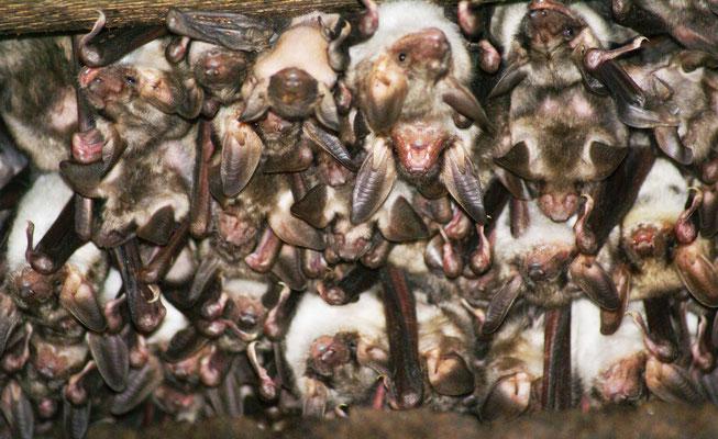 Grosse Mausohr Fledermaus Rheinfelden Biodiversität Natur Naturschutz