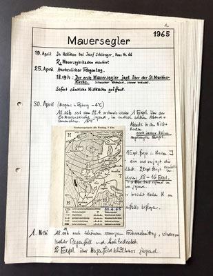 Mauersegler Aufzeichnungen der Bruten und Flug der Mauersegler in Rheinfelden
