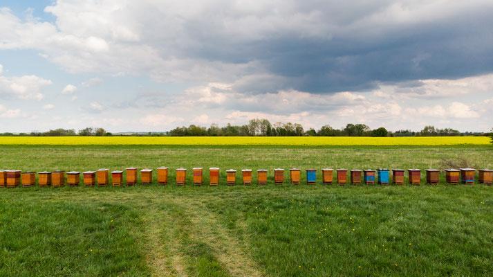"""""""Industrielle Imkerei"""" vor mehreren Hektar großen Rapsflächen"""