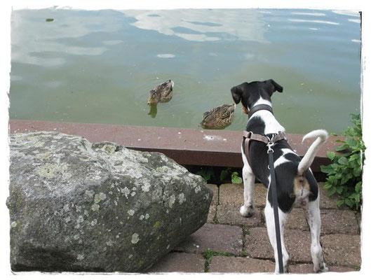 Enten - wie komisch