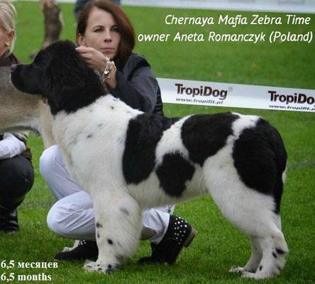 ньюфаундленд Chernaya Mafia Zebra Time