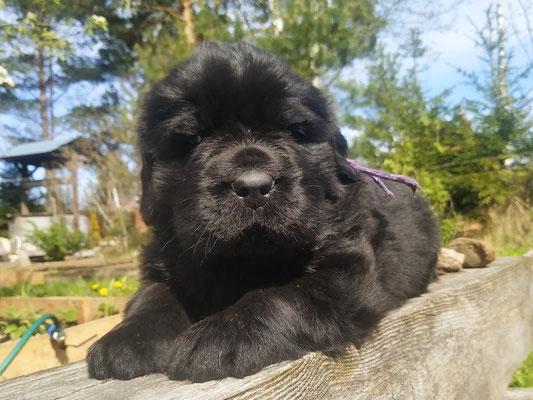щенок ньюфаундленда, 25 дней