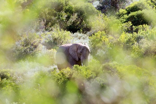 Elefant (Big 5)