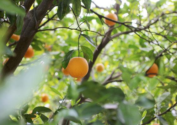 Orangengarm