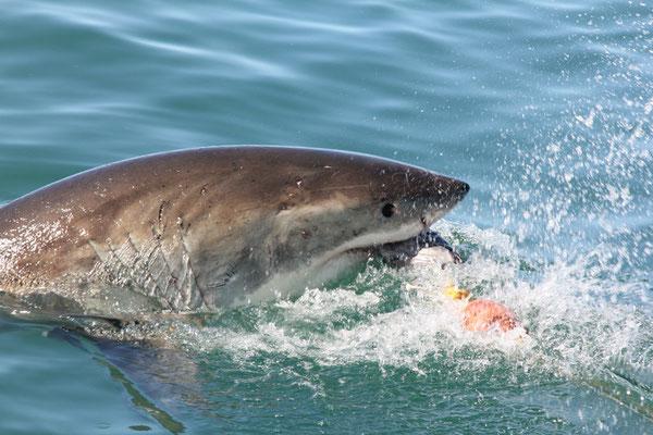 mein Date mit dem weißen Hai