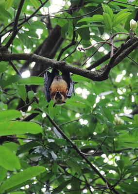 Fruit Bat - Flughunde