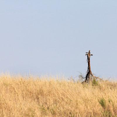 Giraffe?!