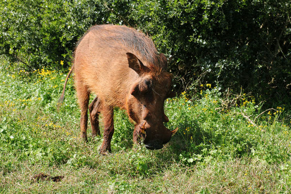 Warthog/Warzenschwein