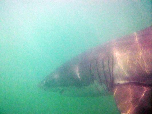 der weiße Hai - unter Wasser