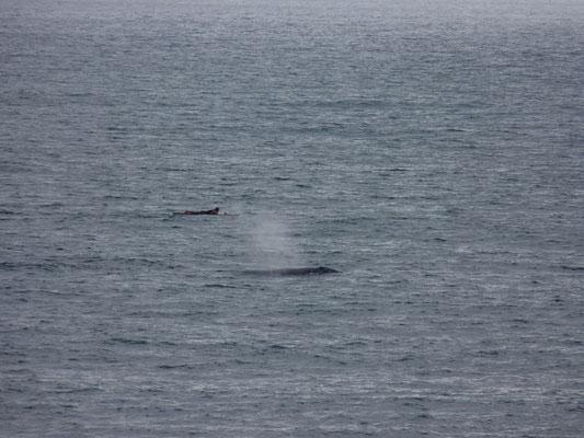 Une baleine à Carlsbad
