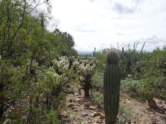 Chollas de l'Arizona-Sonora Désert Museum
