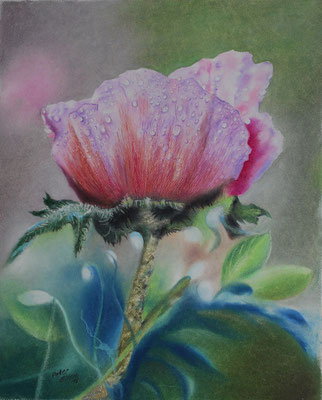 Rosa Mohn, Öl-Pastellkreide, 38 x 42 cm, 2017