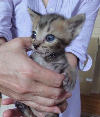 あお(仮名:トバル) オス 2015.7/8 正式譲渡となりました!きょうだい猫「そらちゃんと共に家族として迎えられました!