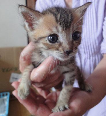そら(仮名:フルス) メス 2015.7/8 正式譲渡となりました!きょうだい猫「おあちゃんと共に家族として迎えられました!
