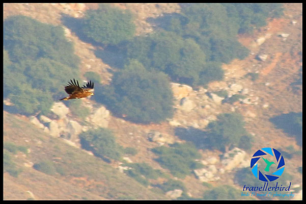 Schreiadler (Aquila pomarina)