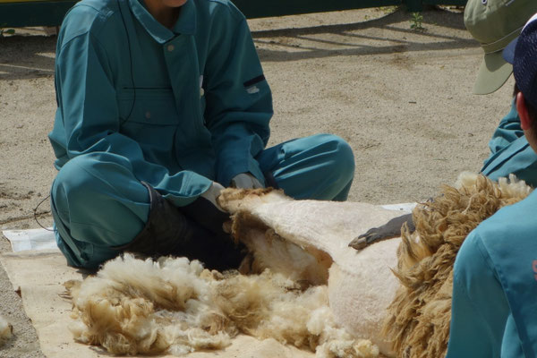 池田市立五月山動物園 毛刈り