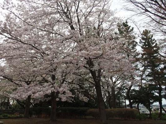 夢見ヶ崎動物公園 桜
