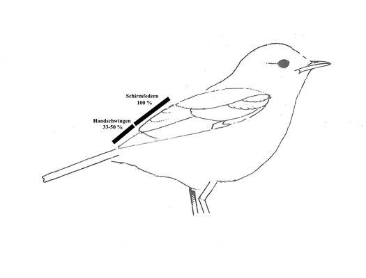 Schema Zilpzalpflügel