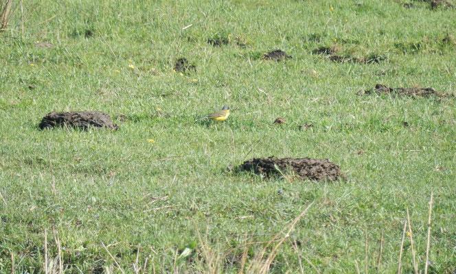 Thunbergschafstelze auf der Wasserbüffelweide bei Allmannshofen
