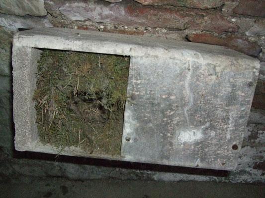 Ein vorbildliches Wasseramselnest aus weichem Moos mit Einflugloch und großer Bruthöhle im Innenraum