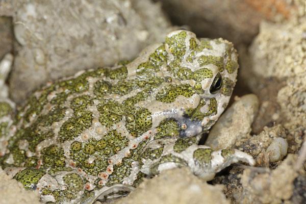 Wechselkröte (Foto: Ralph Sturm, LBV Bildarchiv): im Unterschied zur Kreuzkröte kein heller Rückenstreifen und abgegrenztere einzelne Flecken auf der Oberseite