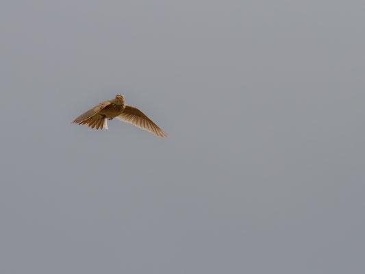 Fliegende Feldlerche (Foto: Markus Glaessel, LBV Bildarchiv)