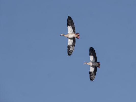 Fliegende Nilgänse Foto: Ulrich Laakmann