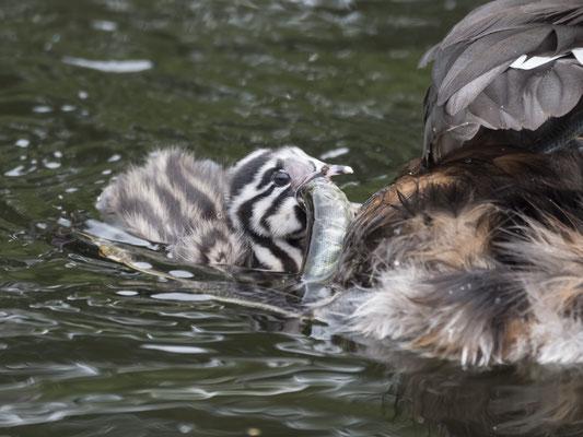 Der etwas ältere Jungvogel schwimmt schon selbständig und muss sich auch bei der Fütterung größeren Herausforderungen stellen.