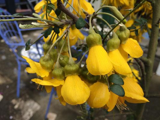 本の表紙は蕾だが和が庭に来たものは見事な大きな花が満開で沢山着いていた。