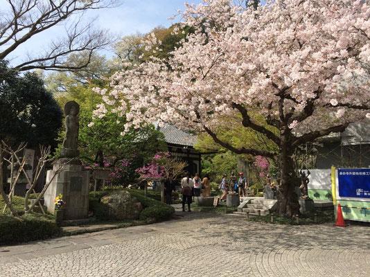 長谷寺・桜も待ってくれて、鎌倉の町を一望に四季折々山野草が優しく迎えてくれるお寺です。