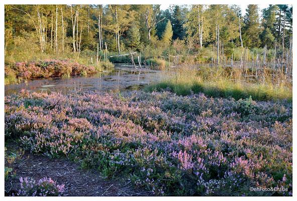 Haidgauer Torfwerk -Blühende Heide