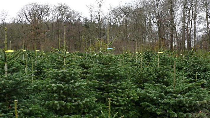 Tannenbaum Selber Schlagen.Weihnachtsbaumschlagen Weihnachtsbaumverkauf Hof Wentzien