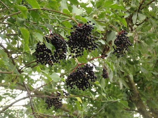 Holunderbeeren - reiches Nahrungsangebot im Herbst