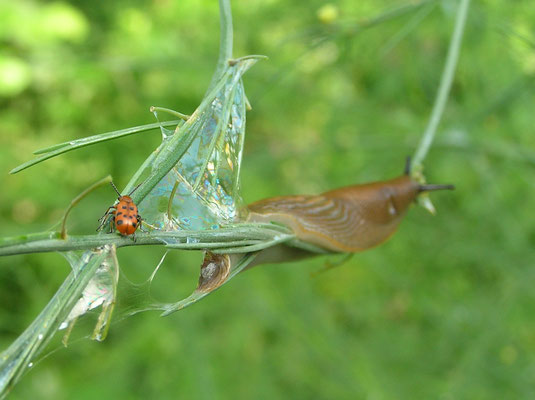 Spargelkäfer und Nacktschnecke im Spargellaub