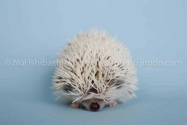 150620_0142/ハリネズミ ©Nui Ishibashi