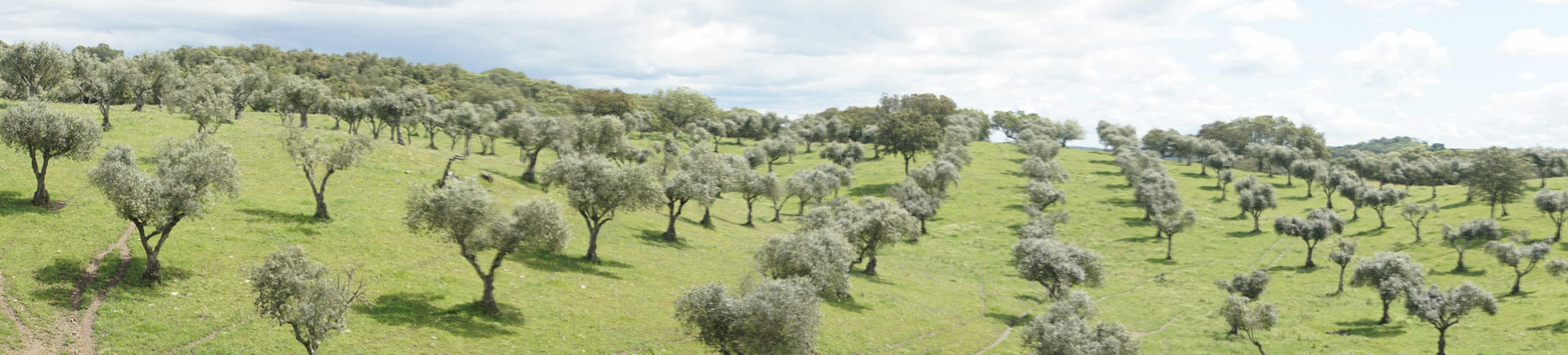 Seit vieeeeelen Jahren stehen sie da in Reih und Glied, die Olivenbäume...