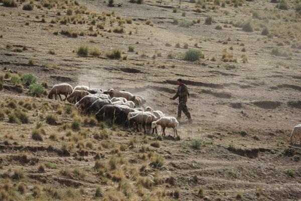 Der Hirte treibt die Schafe im trockenen Tal zu den einzelnen grünen Stellen...