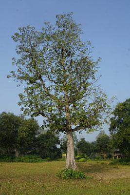 """Silk-Cotton Baum - gibt Früchte, die nach Gurke schmecken - Baumwolle - und dient als Holz für die Kanus (""""Einbaum-Schiffe"""") - wichtiger Baum in der Gegend..."""