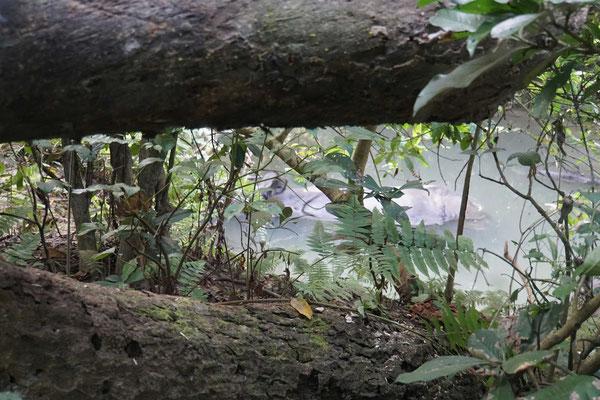 Da badet nur 4 Meter entfernt ein Nashorn...! Suchbild 1... - GENIAL, solche Urviehcher so nah zu sehen...!
