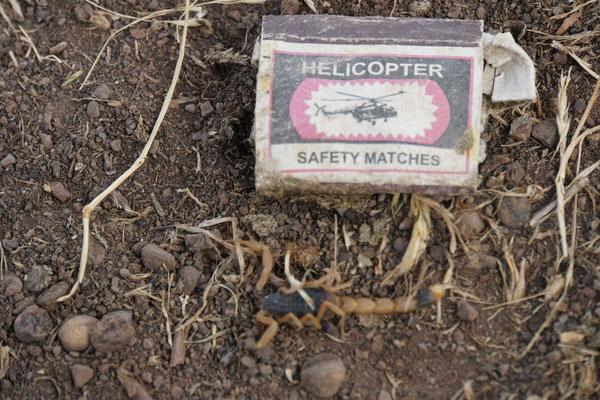 am Morgen ungebetener Gast unter Zelt; Skorpion im Schreck leider erschlagen