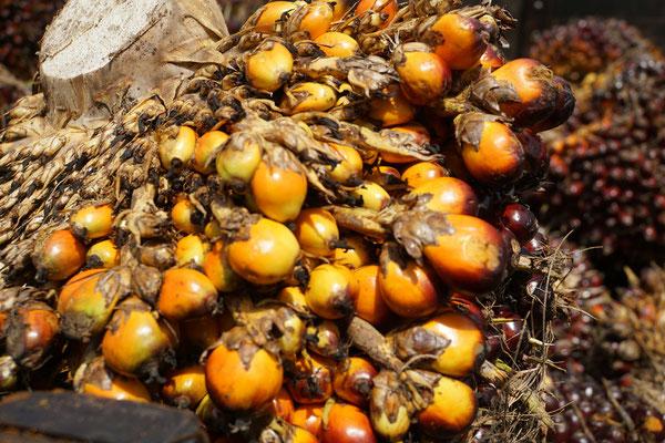 Früchte der Ölpalmen