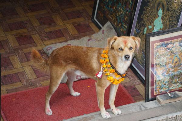 Vorgestern 10.11.2015 wurde anlässlich der Feierlichkeiten der Hunde gedacht - sie wurden gesegnet und geschmückt...