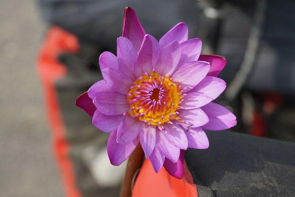 Lotusblüte - wunderschöne Blumen...!!!