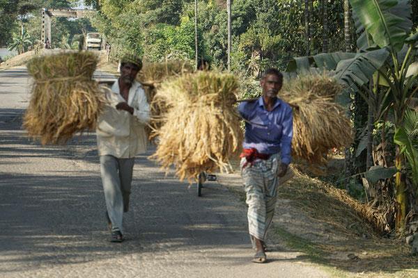 Reisbauern tragen ihren Reis heim...