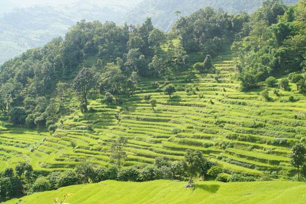 So romantisch, lieblich wie die Reisfelder vor mir liegen, ist das Leben als Reisbauer NICHT...