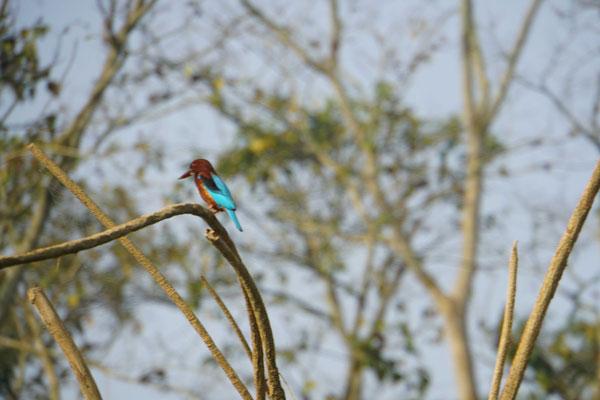 Kingfisher Bird - wunderbar gezeichneter Vogel...!