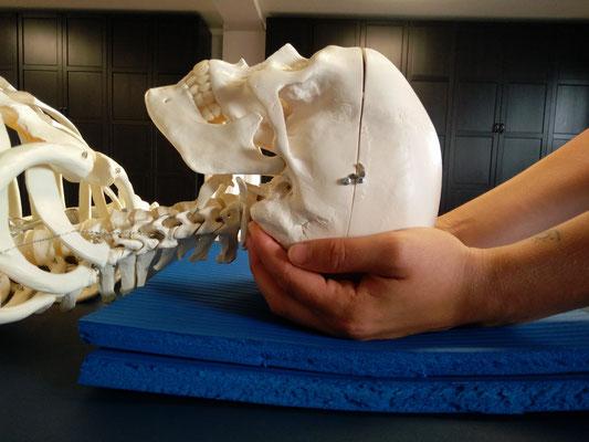 NeuroScanBalance - Skelett, Schädel