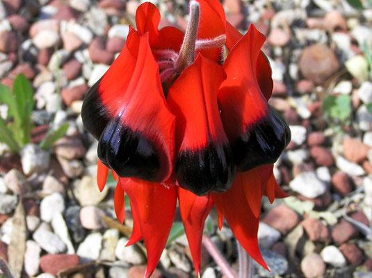 Sturt's Desert Pea, Swainsona formosa, ist eine australische Wildblume der Gattung Swainsona, benannt nach dem englischen Botaniker Isaac Swainson. Sie waechst in den trockenen Regionen Mittel-und Nord-West-Australien.
