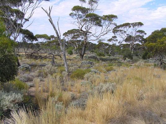 Buschland entlang des Highway zwischen Perth und Adelaide